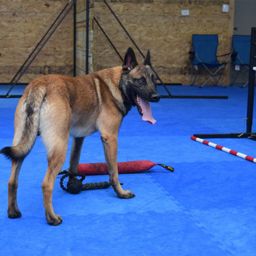 Dog Agility Mats Interlocking Tiles shepard.